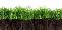 green grass lawn in dark soil isolated on a white background, seamles texture in panoramic banner format
