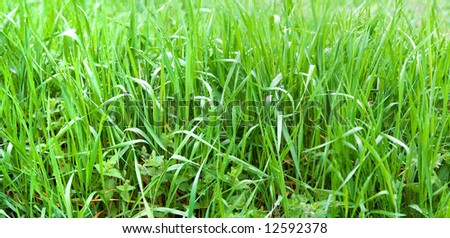 green grass lawn panorama summer meadow plants with dew