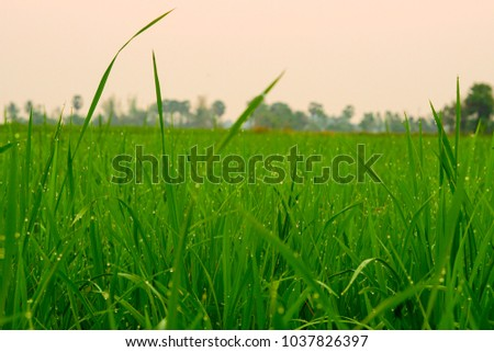 Green grass morning plant paddy #1037826397