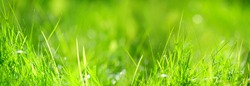 green grass nature background macro. summer meadow. purity freshness nature. banner. copy space. template for design