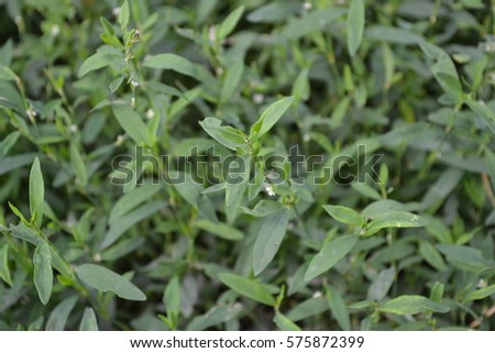 Green grass. Polygonum aviculare. Medicinal plant. Fodder plant. Close-up. Horizontal photo