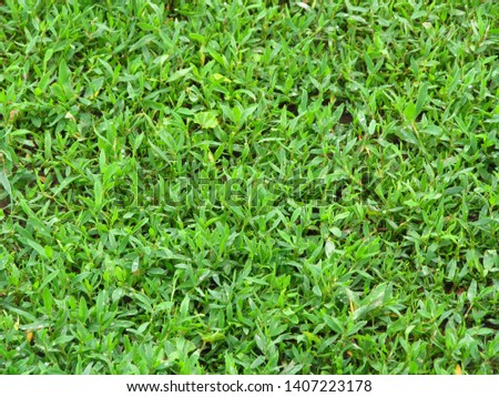 Green grass. Polygonum aviculare. Medicinal plant. Fodder plant. Horizontal photo #1407223178
