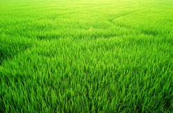 Green Grass rice field