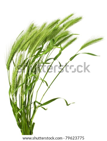 green grass spikelet