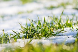 Green grass sprouts from under the snow that melts in the spring