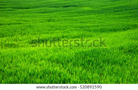 Green grass texture from a field #520892590