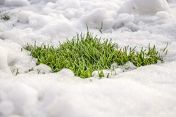 Green grass under the snow in nature.
