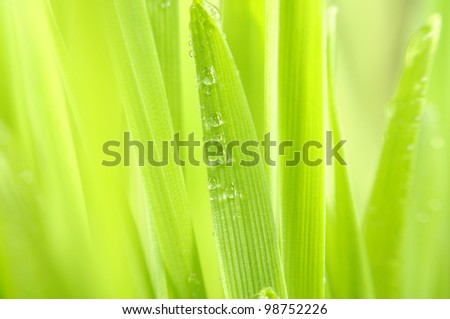 Green Grass with Dew Drops Macro