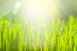 Green grass with morning dew. Fresh green leaves grass with dew drops, close up