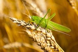 green grasshopper eats wheat crop