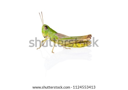 green grasshopper insect on white background with reflection #1124553413