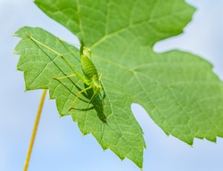 Green grasshopper insect with long legs and feelers sitting on grape leaf with blue sky