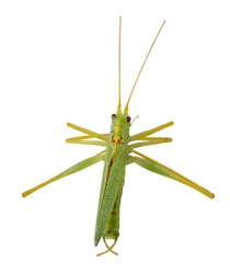 Green grasshopper isolated on white background. Clipping Path.