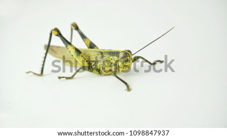 Green grasshopper isolated on white background.  Selective focus. #1098847937
