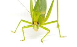 Green grasshopper look in camera macro photo. Large katydid female isolated. Tropical insect macro photo. South Asia insect species. Green katydid with ovipositor and egg. Exotic entomology