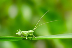 Green grasshopper on a blade of grass close up. Macro. Meadow. Insect. Wild animal. Grass. Summer time.