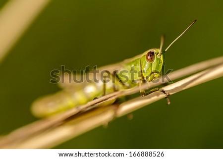 Green grasshopper on a dried plant
