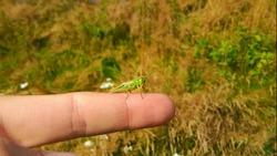 Green grasshopper on a finger
