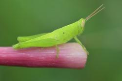 green grasshopper on a twig