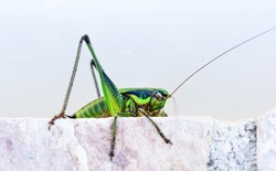 Green grasshopper or locust macro shot on a outdoor terrace. Green insect outside in mediterranean climate - Adriatic sea - Silba Croatia.