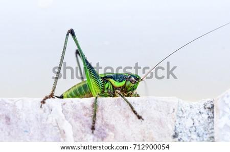 green grasshopper or locust...