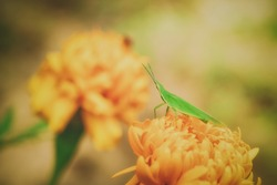 Green grasshopper perched on a marigold flower.