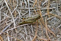 Green grasshopper posing among the dry grass of Fall