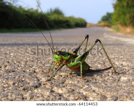 Green grasshopper posing on the road