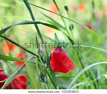 Green grasshopper sit  on petal of wild red poppies #103304855