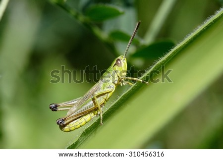 Green grasshopper sitting on agrass -  closeup #310456316