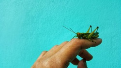 green grasshopper sitting on the palm of a human's finger.