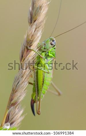 Green grasshopper  ( Tettigonia viridissima )