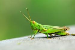 green grasshopper with big eyes