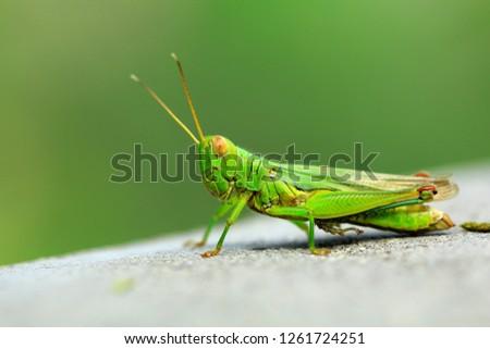 green grasshopper with big eyes #1261724251