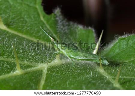 Green grasshopper, Yong grasshopper on closeup #1277770450