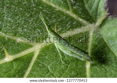 Green grasshopper, Yong grasshopper on closeup #1277770453