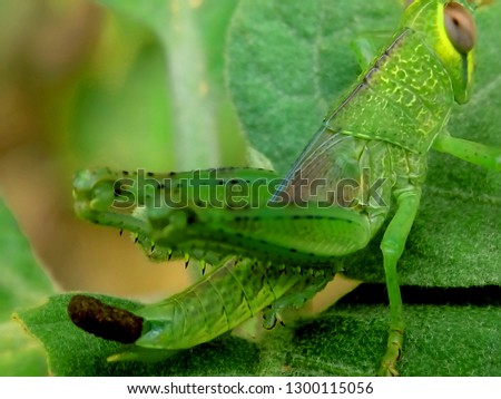 Green grasshoppers perch on the leaves #1300115056