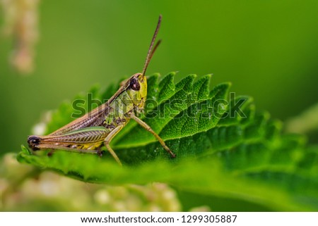 green, green, green grashopper between leaves #1299305887