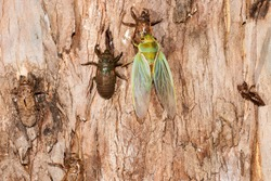 Green Grocer Cicada emerging as an adult