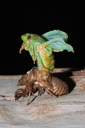 Green Grocer Cicada emerging from shell as an adult