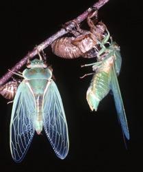 Green Grocer Cicada metamorphosis