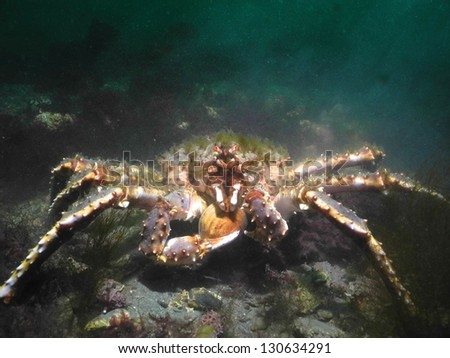 Green haired red King Crab holding a clam