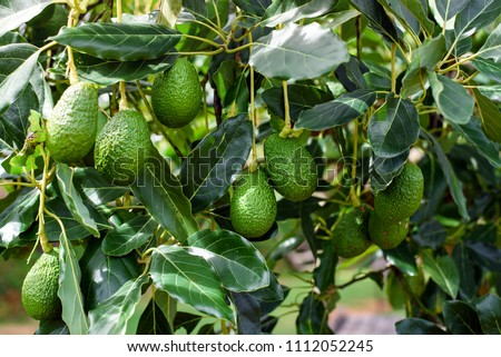 green Hass Avocados fruit hanging in the tree