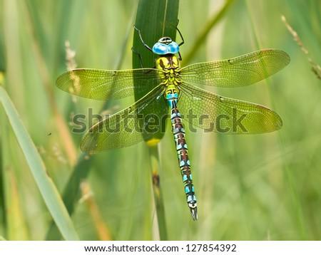 green hawker dragonfly  aeshna...