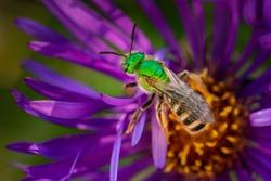 Green headed sweat bee pollinating fall asters