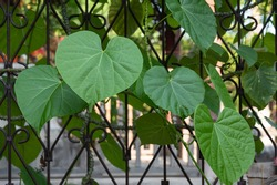 green heart-shaped vines on wall, Heart leaved moonseed