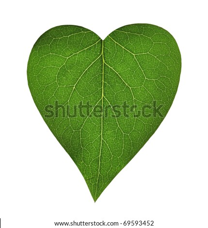 Green heart, transparent leaf of lilac