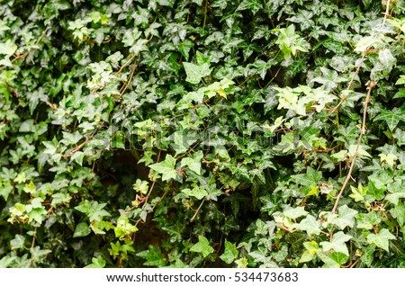 green Hedera Helix ivy leaves background
