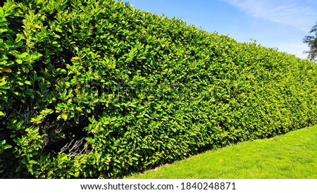 Green hedge accompied with a green lawn and blue sky during summer Stock photo ©
