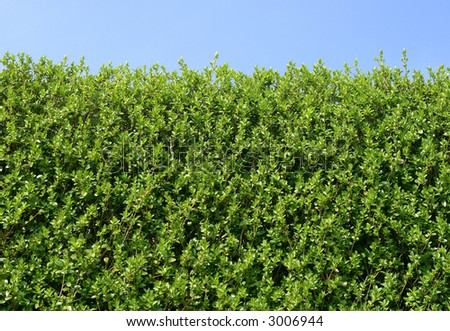Green hedge close up and a blue sky. - stock photo